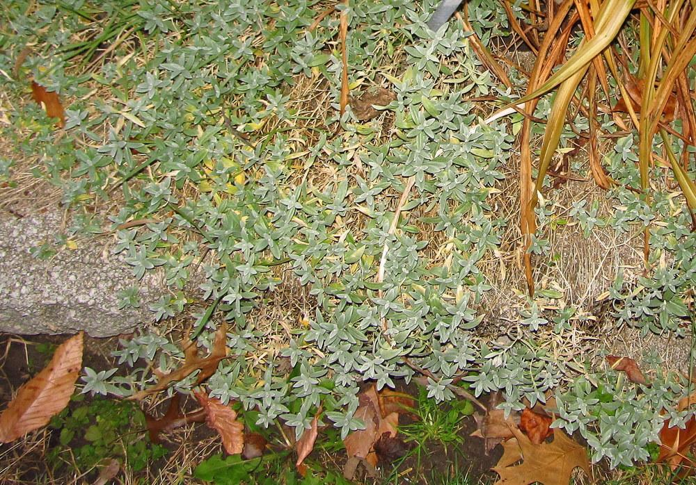 Photo of Snow-In-Summer (Cerastium tomentosum 'Silver Carpet') uploaded by jmorth
