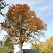 Location: West Chester, PennsylvaniaDate: 2010-10-18large tree in yard in autumn color