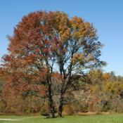 Location: Stroud Land Preserve in southeast PADate: 2015-10-23two wild trees right together in fall