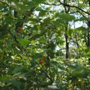 Location: Indiana Dunes State Park in nw INDate: 2016-07-16a few not yet ripe fruit