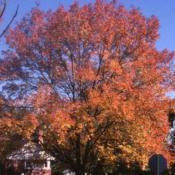Location: Glen Ellyn, IllinoisDate: October in 1980'sautumn color of tree in yard, not a cultivar