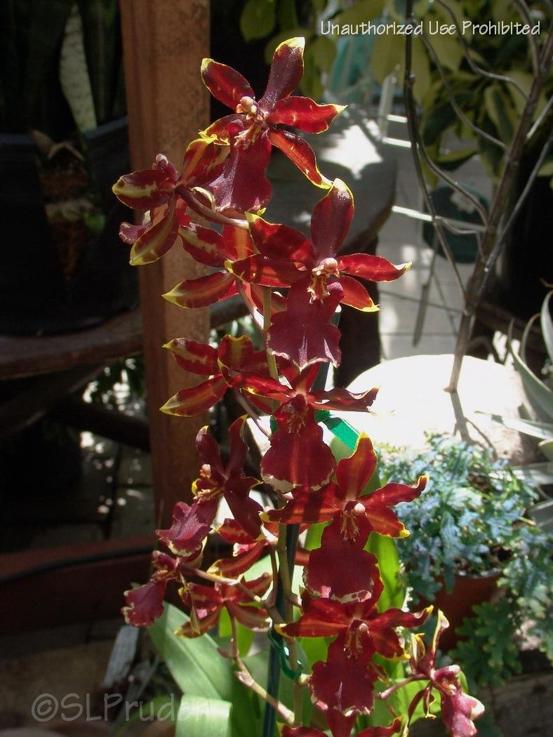 Photo of Orchid (Oncostele Wildcat 'Golden Red Star') uploaded by DaylilySLP