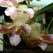 Location: Palm Sunday Orchid Show, MIDate: 2009-04-04