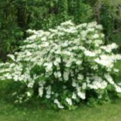 Location: my yardDate: May, 2017Japanese Snowball Viburnum