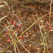 Location: central IllinoisDate: 2015-11-26winter rose hips