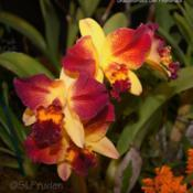 Location: Palm Sunday Orchid Show, MIDate: 2013-03-24SONY DSC