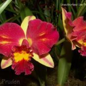 Location: Palm Sunday Orchid Show, MIDate: 2010-03-27