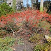 Location: Wayne, PennsylvaniaDate: 2009-11-29three shrubs in a berme