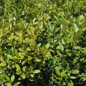 Location: Volo Bog in northeast Illinois south of Fox LakeDate: 2014-08-14summer foliage of wild shrubs