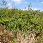 Location: Volo Bog in northeast Illinois south of Fox LakeDate: 2014-08-14wild shrubs along walkway in bog in summer