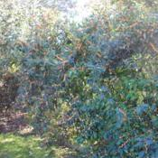 Location: Tyler Arboretum in southeast PA near MediaDate: 2011-11-02shrub with fruit