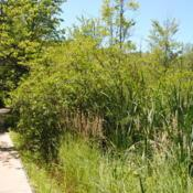 Location: Indiana Dunes State Park in northwest IN Date: 2016-07-16wild shrubs in summer along walkway to left