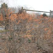 Location: Tyler Arboretum in southeast PA near MediaDate: 2012-02-15shrub group in winter