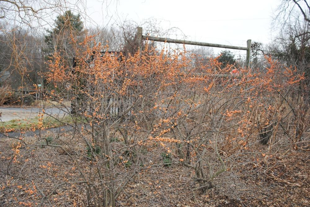 Photo of Winterberry Holly (Ilex verticillata 'Winter Gold') uploaded by ILPARW