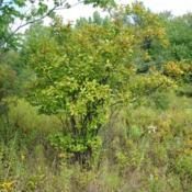 Location: Thomas Darling Preserve near Blakeslee, PADate: 2016-09-13a wild female shrub in a boggy area