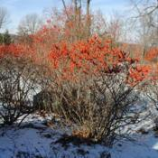 Location: Springton Manor in southeast PADate: 2015-01-11shrub in winter in fruit