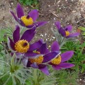Location: Nora's Garden - Castlegar, B.C.Date: 2015-04-213:13 pm. Incredible blossoms for colour and form.