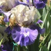 Location: Catheys Valley CaliforniaPhoto courtesy of Superstition Iris Gardens, posted wit