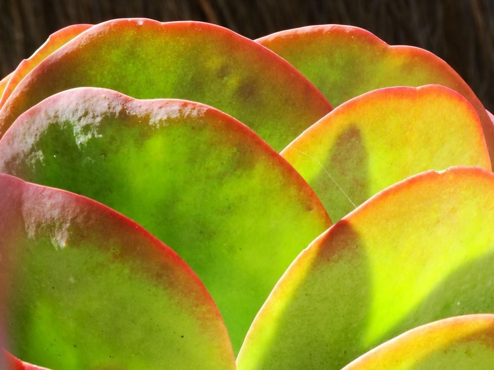 Photo of Flapjacks (Kalanchoe luciae) uploaded by carolem
