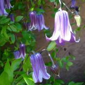 Location: Friend's Garden - Glade, B.C.Date: 2013-06-233:00 pm. Elegance in a curve.