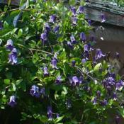 Location: Friend's Garden - Glade, B.C. Date: 2013-06-233:00 pm. Very prolific - climbing the shed all summer l