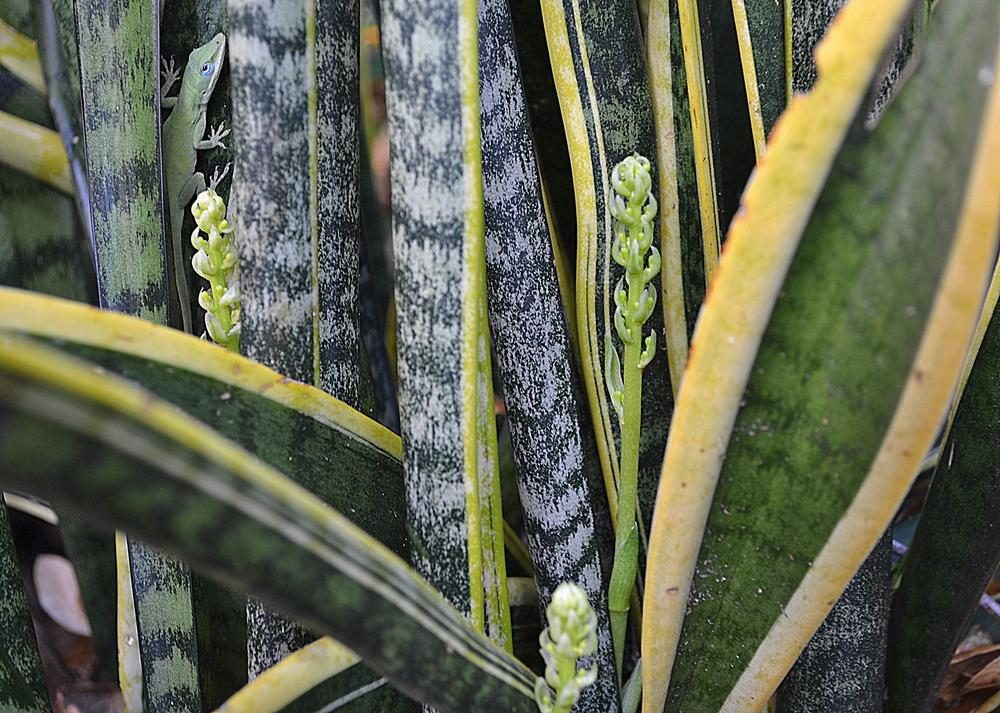 Photo of Snake plant (Sansevieria trifasciata 'Laurentii') uploaded by sunkissed