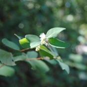 Location: Jenkins Arboretum in Berwyn, PennsylvaniaDate: 2016-08-07tiny white flowers and leaves