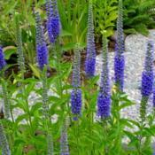 Location: Nora's Garden - Castlegar, B.C. Date: 2014-07-197:36 pm. Beautiful, long blooming spires of blue.