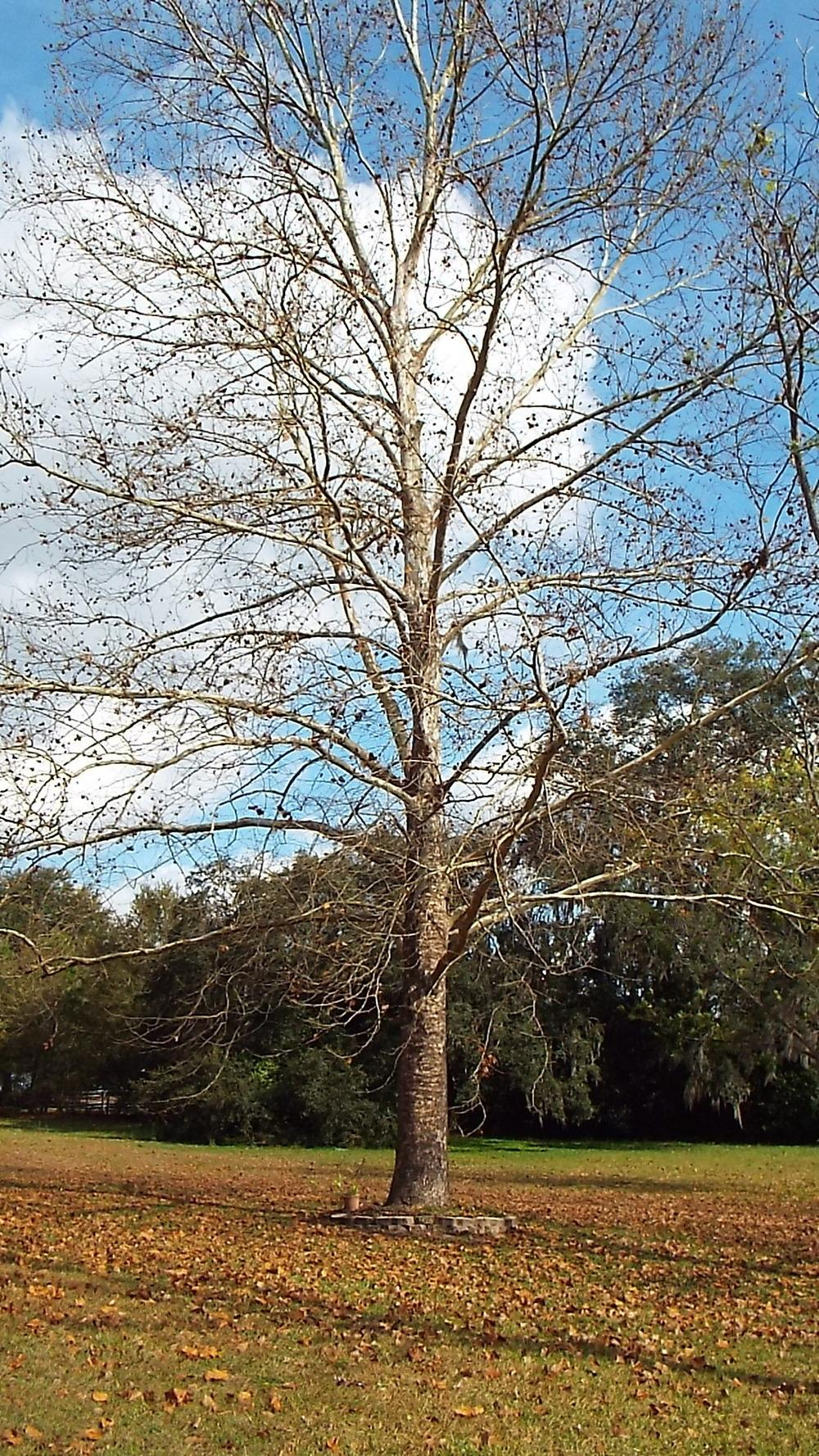 Photo of American Sycamore (Platanus occidentalis) uploaded by flaflwrgrl