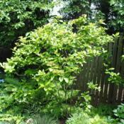Location: West Chester, PennsylvaniaDate: 2011-06-20a planted specimen in part-shade