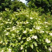 Location: Morris Arboretum in Philadelphia, PADate: 2016-06-15white flower clusters and foliage