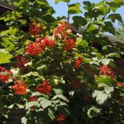 Location: Newtown Square, PennsylvaniaDate: 2015-08-15red fruit and foliage