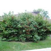 Location: Cosley Park in Wheaton, IllinoisDate: 2014-08-19three shrubs together