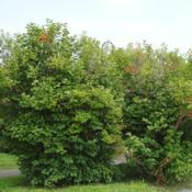 Location: Thorndale, PennsylvaniaDate: 2010-07-21two large shrubs planted in a park