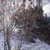 Location: Hinsdale, IllinoisDate: winter in 1980'sa planted specimen in winter