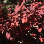 Location: Hinsdale, IllinoisDate: October in 1980'sred fall color