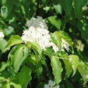 Location: Marsh Creek Lake Park in southeast PADate: 2016-06-22close-up of flower cluster