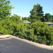 Location: Downingtown, PennsylvaniaDate: 2010-07-03maturing shrubs in parking lot island