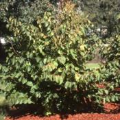 Location: Glen Ellyn, IllinoisDate: summer in 1980'smaturing planted shrub in park