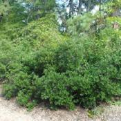 Location: southern New JerseyDate: 2013-08-10mature shrub in summer