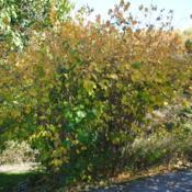 Location: Jenkins Arboretum in Berwyn, PADate: 2012-10-21full-grown shrub mostly in fall color in part shade