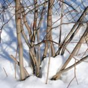 Location: Downingtown, PennsylvaniaDate: 2011-02-03base of stems and bark
