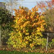 Location: Downingtown, PennsylvaniaDate: 2009-10-25full-grown shrub at fence in fall color