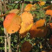 Location: Downingtown, PennsylvaniaDate: 2008-10-15autumn leaves