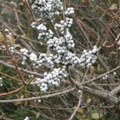 Location: Downingtown, PennsylvaniaDate: 2007-12-28gray waxy-coated berries without foliage