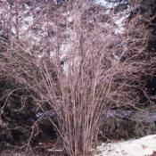Location: Morton Arboretum in Lisle, IllinoisDate: winter in 1980'sfull-grown shrub in winter