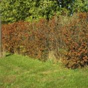 Location: Batavia, IllinoisDate: October in 1980'sscreen of hazelnut shrubs in fall