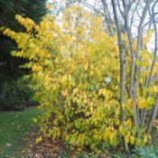 Location: Downingtown, PennsylvaniaDate: 2014-10-16mature shrub planted in yard in fall color