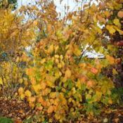 Location: Downingtown, PennsylvaniaDate: 2010-10-27shrub in fall color