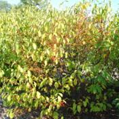 Location: Romeoville, IllinoisDate: 2012-08-20mature shrub during drought with fruit